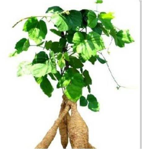Kudzu Root Extract Powder