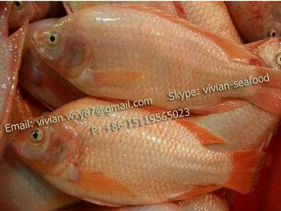 Offer Frozen Red Tilapia Fish Oreochromis Niloticus