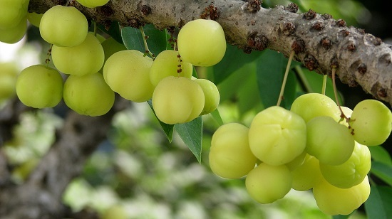 Organic Amla Powder Phyllanthus Emblica Amalaki