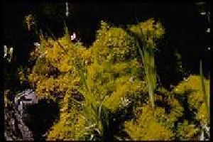 Philonotis Moss Extract