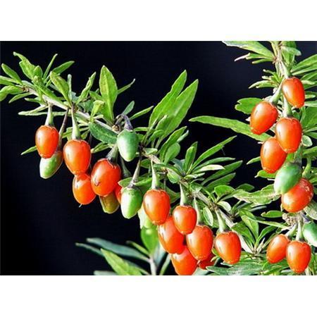 Phyllan Fruchtus P Ephyllan E