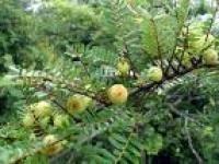 Phyllanthus Emblica Extract 35 Polyphenlos Uv Vis