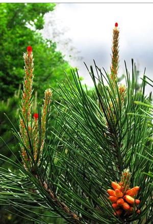 Pine Needle P Epine E