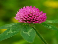 Red Clover Isoflavones Extract
