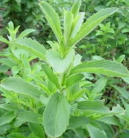 Stevia Leaf Extract Steviosides P E Products